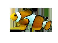 Aixaquarium les sp cialistes en aquariophilie esp ce d for Poisson clown achat